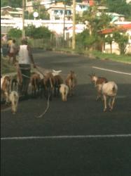 Writing Wrap Up + A 3 Legged Goat