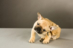 Get Rid of Fleas Without Chemicals